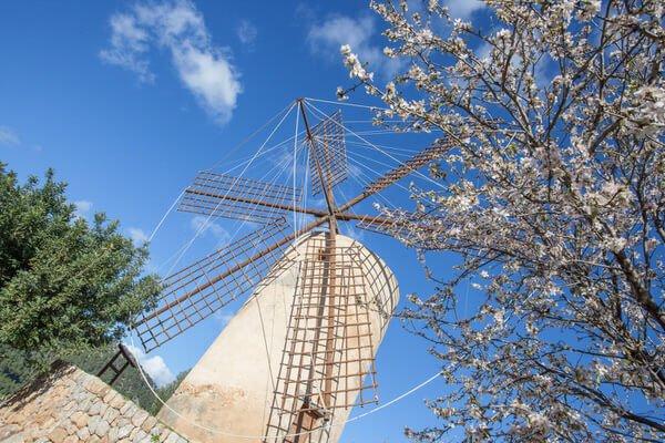 So langsam blüht es wieder auf der Insel – Mandelblüte auf Mallorca