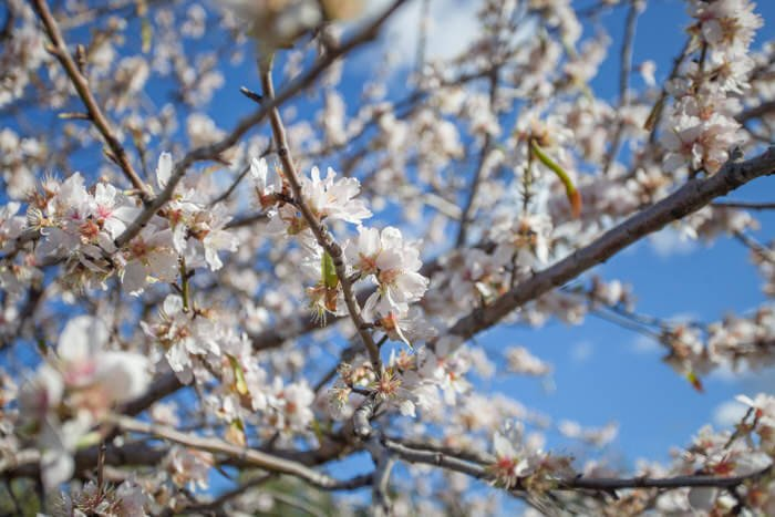 Almond Blossom fair in Son Servera in february